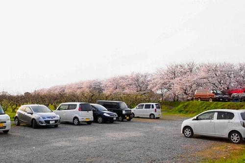 260328 浮羽巨瀬川桜並木17