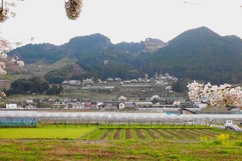260328 浮羽巨瀬川桜並木20