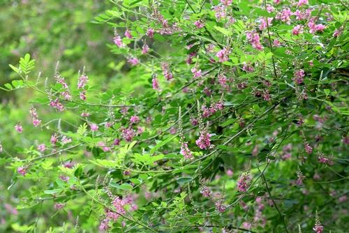 260705 コマツナギの花1