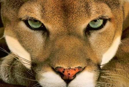 Pumas-the-Animal1[1]