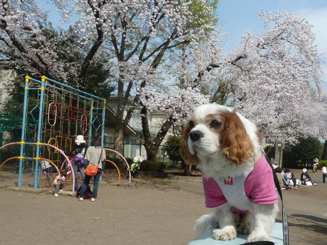 桜とラッキー