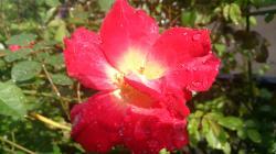薔薇 カクテル