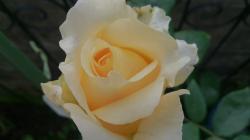 Lucy の薔薇
