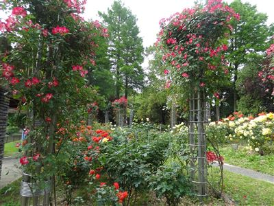 稲沢公園のバラ1