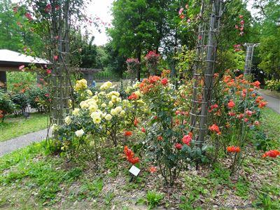稲沢公園のバラ2