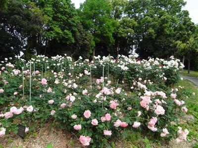 稲沢公園のバラ3