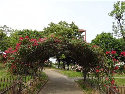 稲沢公園のバラ4