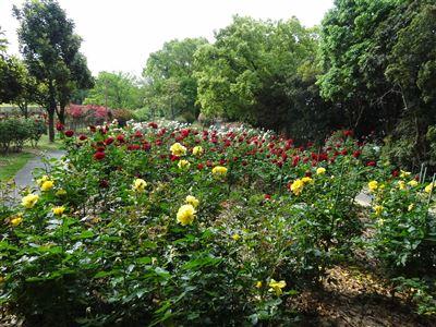 稲沢公園のバラ5