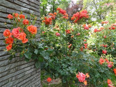 稲沢公園のバラ6