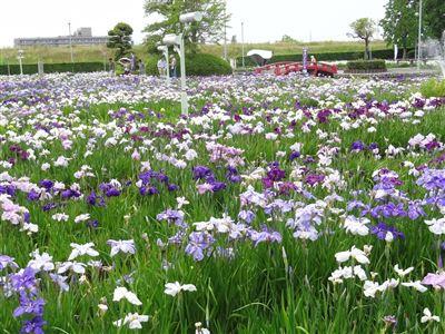 油ヶ渕花しょうぶ園7