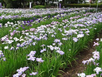 油ヶ渕花しょうぶ園2