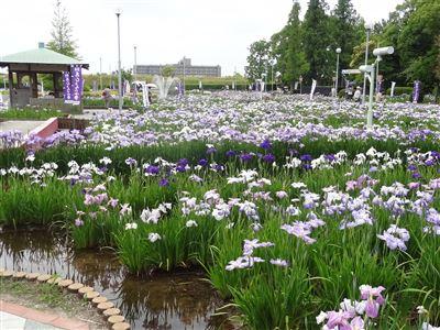 油ヶ渕花しょうぶ園3
