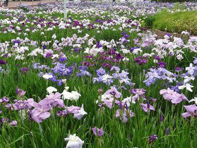 油ヶ渕花しょうぶ園4