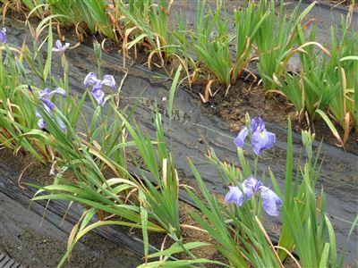 堀川花しょうぶ園3