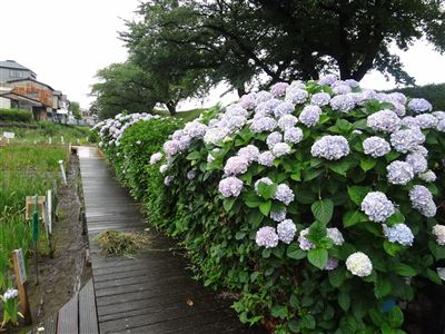 堀川花しょうぶ園5
