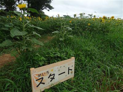 浜名湖ひまわり畑8