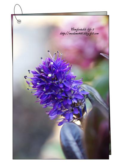 ベロニカグレース花web用A