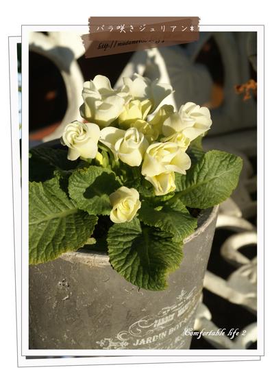 バラ咲きジュリアンweb用Bok