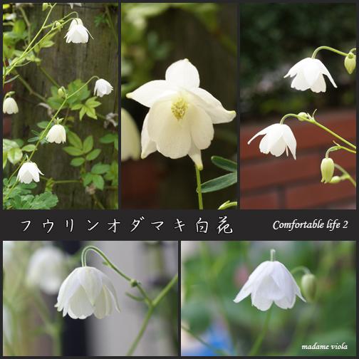 フウリンオダマキ白花web用B