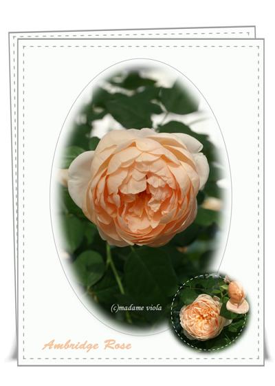 アンブリッジローズweb用2012島田バラ園
