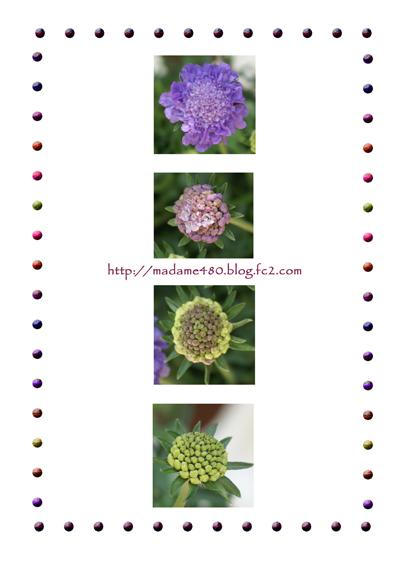スカビオサweb用蕾から開花