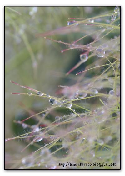 スモークツリーの滴web用
