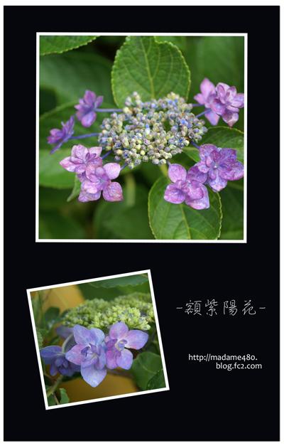 額紫陽花web用2014