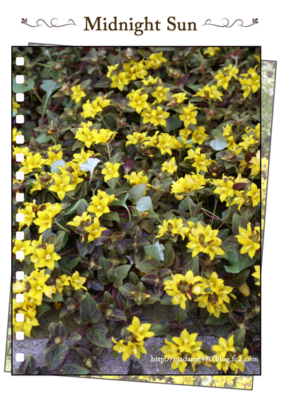 リシマキアミッドナイトサンweb用花B