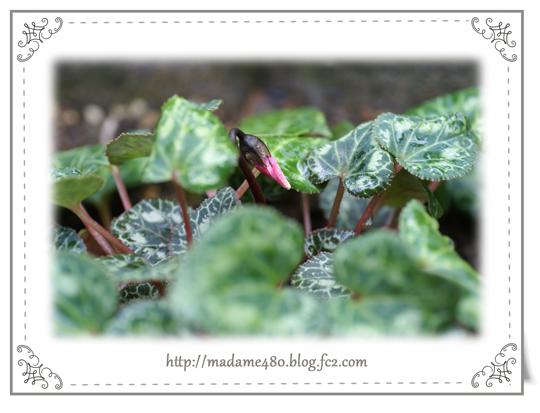 ガーデンシクラメン蕾6月web用