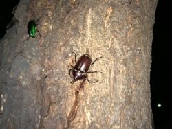 野生のカブトムシを中央公園でゲットした