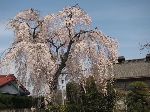IMG_2337 ⑫斉藤牧場枝垂れ桜
