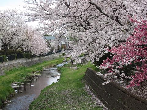 IMG_2354 ⑫野川の桜堤