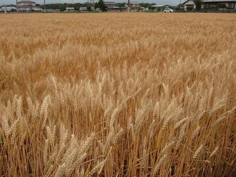 IMG_2734 ⑫麦の秋