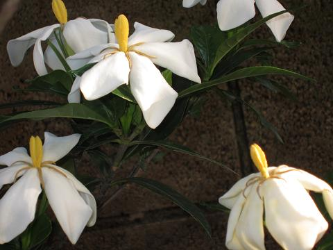 IMG_2772 ⑫クチナシの花