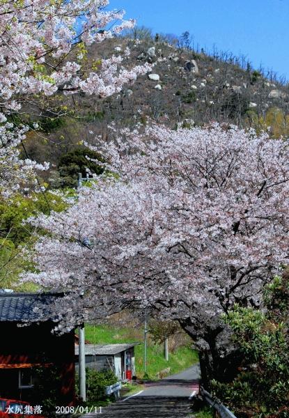 水尻の桜 (415x600)
