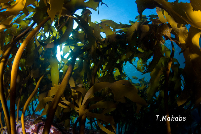 三浦半島葉山の海藻
