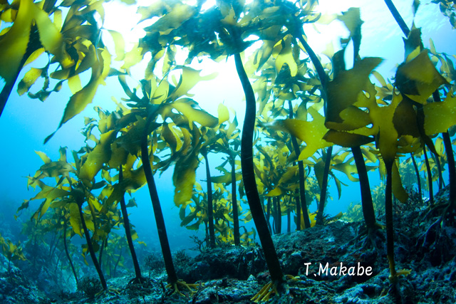 三浦半島・葉山 海藻の森にブルーの光が射し込む景観