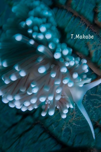 伊豆海洋公園のガーベラミノウミウシ