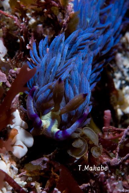伊豆海洋公園のムカデミノウミウシ