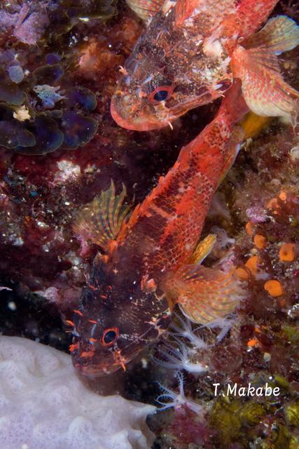 伊豆海洋公園のイソカサゴ