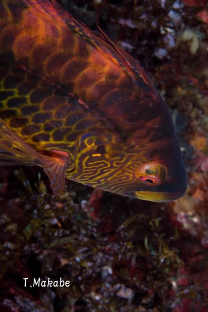 伊豆海洋公園のオハグロベラ