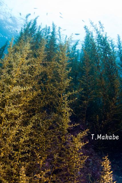伊豆海洋公園の海藻の景観