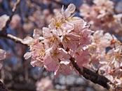 ashigara-20140321-14s.jpg