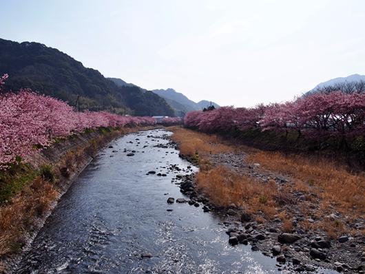 kawazu-20140226-01s.jpg