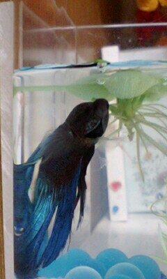 熱帯魚ブルー ブログ最適
