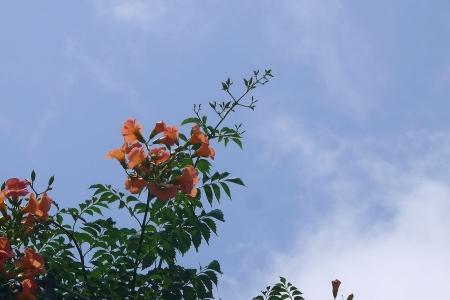 ノウゼンカツラと真っ青な空