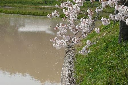 桜と田んぼは似合いすぎ