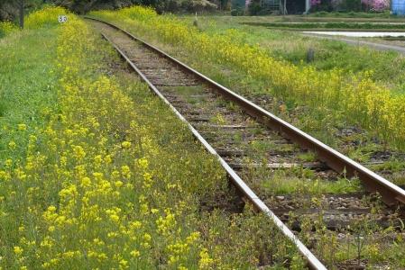 菜の花の電車道
