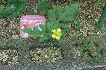 7月19日の初花