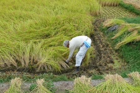 稲刈り一番目の作業